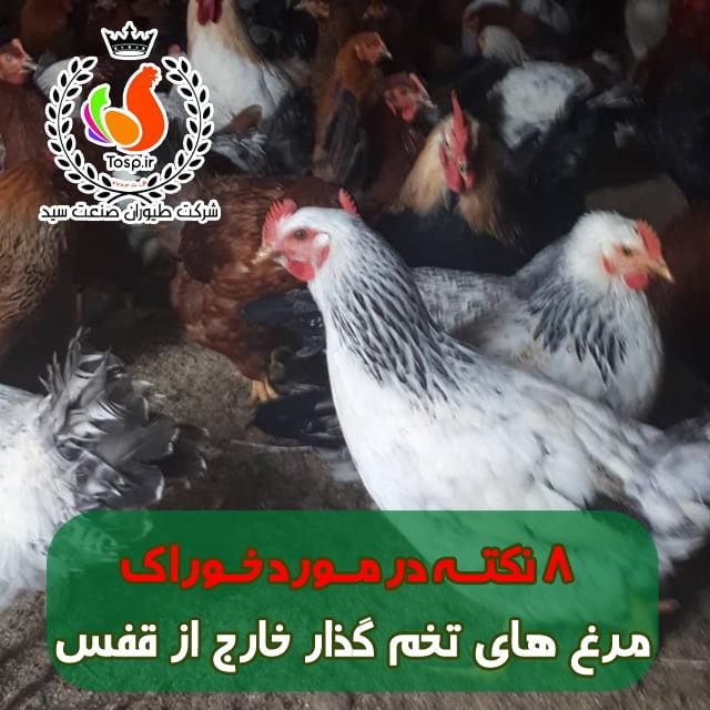 مرغ تخمگذار در بستر