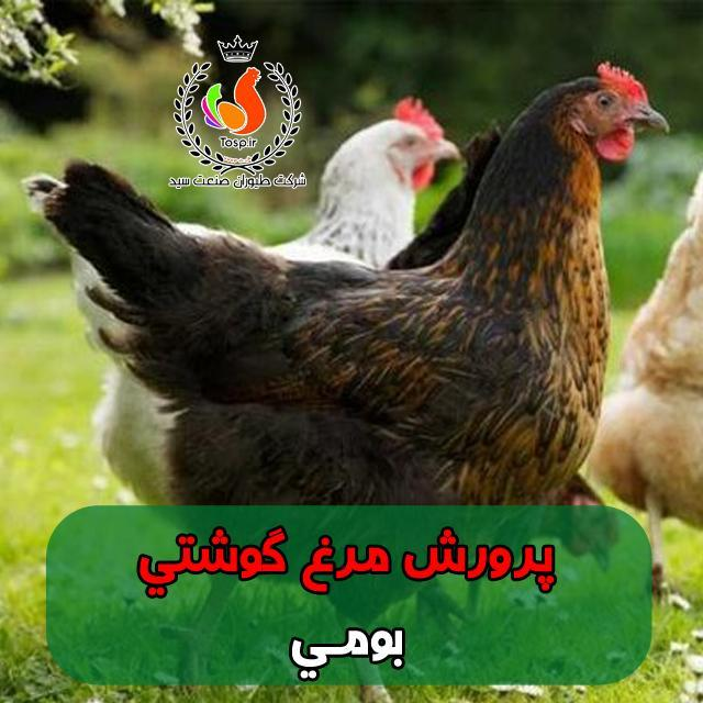 پرورش مرغ گوشتی بومی