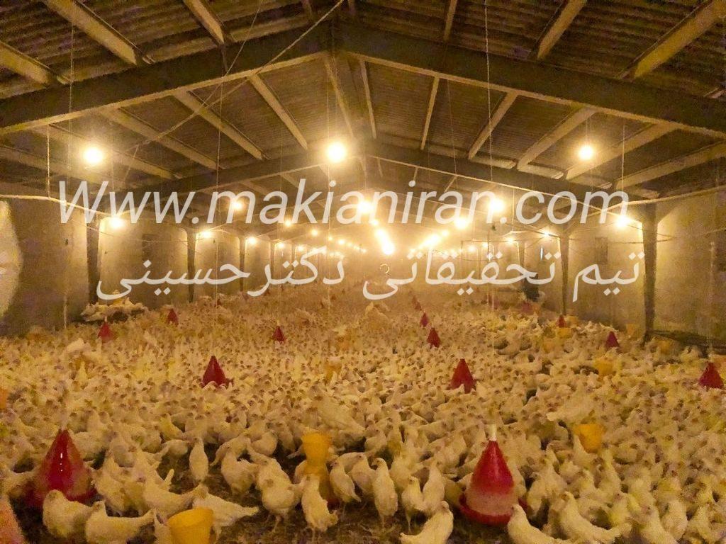 مرغ تخمگذار صنعتی