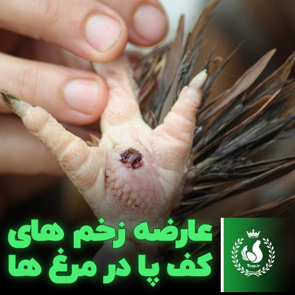 عارضه زخم های کف پا در مرغ ها