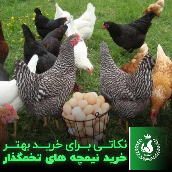نکاتی برای خرید بهتر خرید نیمچه های تخمگذار