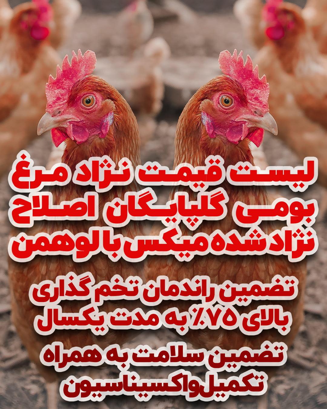 مرغ گلپایگانی اصلاح نژاد