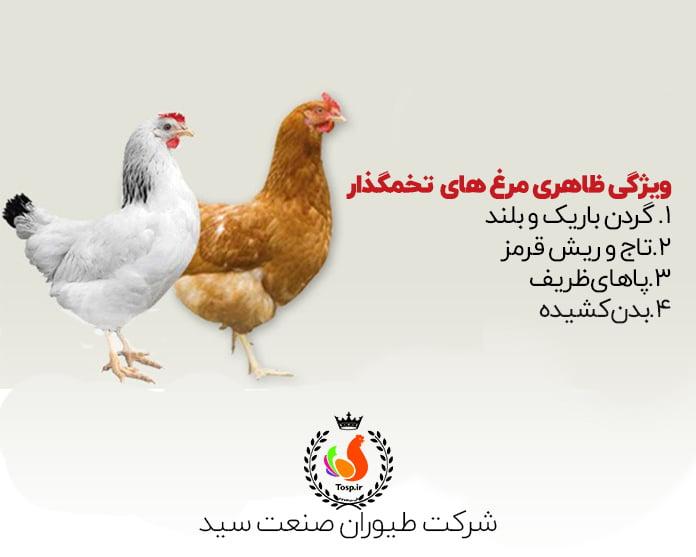 ویژگی های ظاهری مرغ تخمگذار