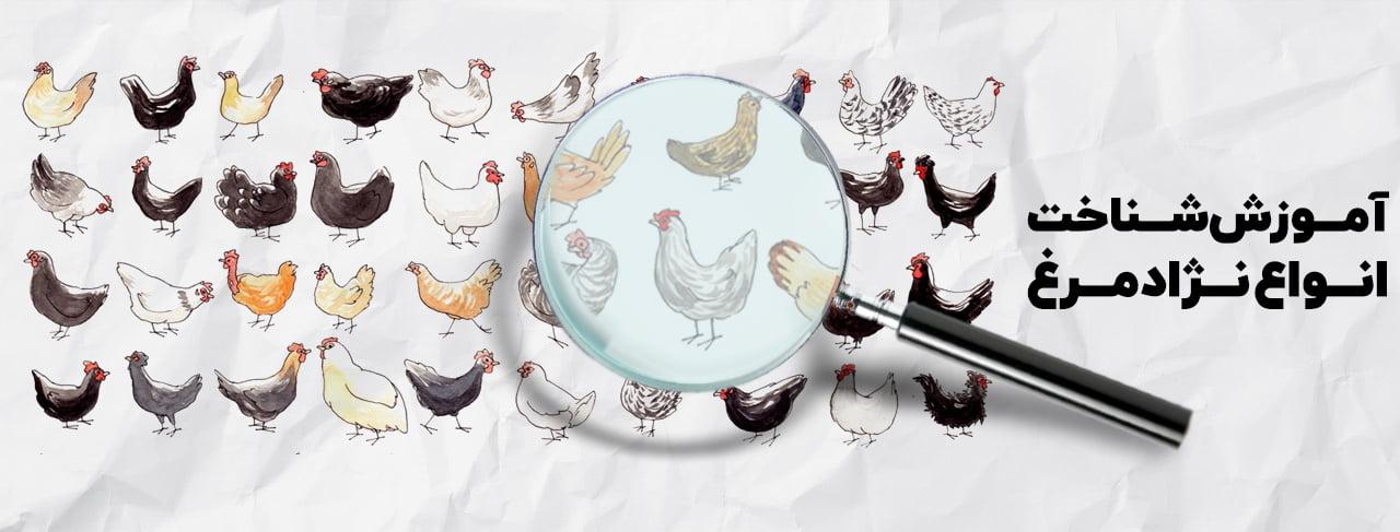 انواع نژادهای مرغ