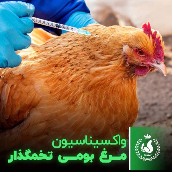 واکسیناسیون مرغ تخمگذار بومی