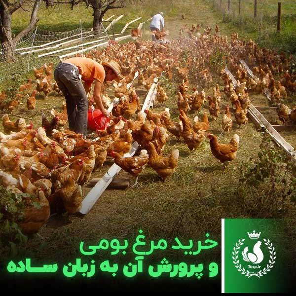 خرید مرغ بومی